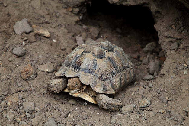 Closeup shot of a brown asian forest tortoise manouria emys resting near a rocky burrow