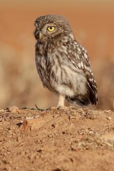 Closeup shot of a brown athene noctua owl perched on a rock