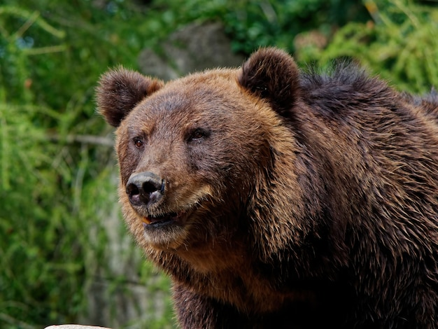 Closeup shot of a brown bear in the forest