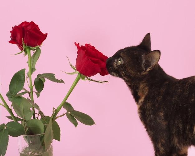 Colpo del primo piano di un gatto marrone e rose su sfondo rosa