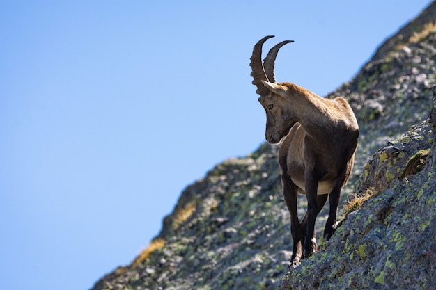 Closeup shot of a brown feral goat with beautiful horns standing on the mossy rock