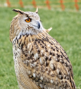 Closeup shot of a brown great horned owl in a park