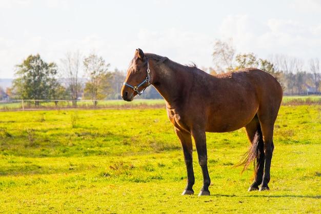 Colpo del primo piano di un cavallo marrone in piedi in un campo verde