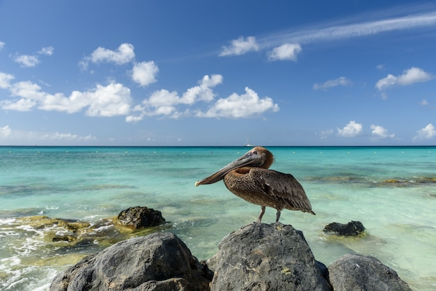 Closeup shot of a brown pelican on a rock next to the blue sea during daylight