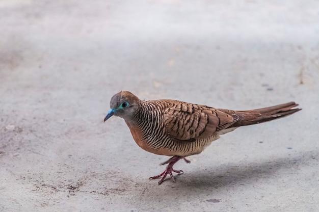Colpo del primo piano di un piccione marrone che cammina sul terreno concreto a bangkok in asia