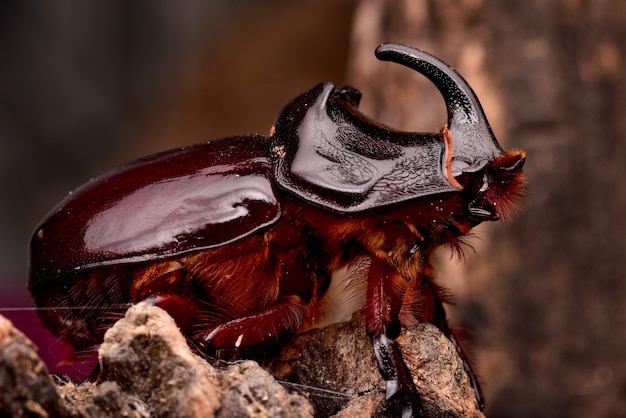 Closeup shot of the brown rhinoceros beetles insect