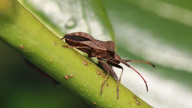 Closeup shot of a brown shield bug on the stem