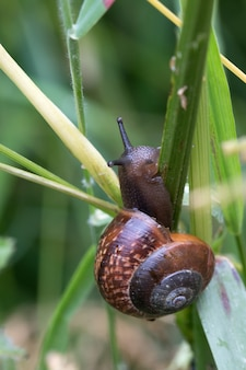 Closeup shot of a brown snail trying to climb over a green grass