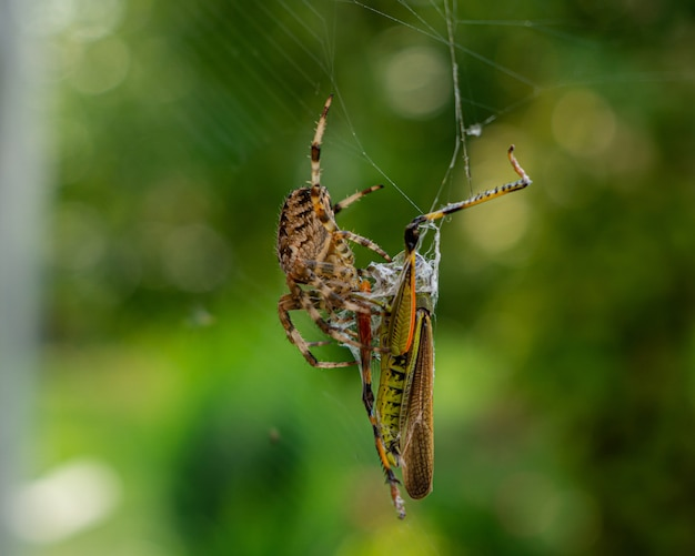 Closeup shot of a brown spider and a green cricket on a spider web with a blurry