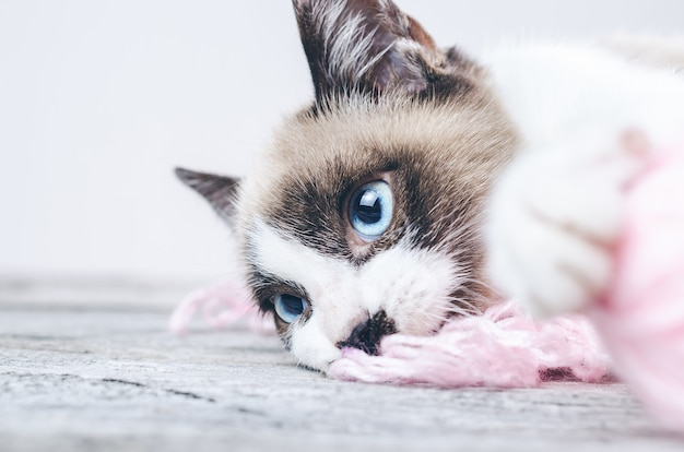 Closeup shot of the brown and white face of a cute blue-eyed cat lying on wool threads