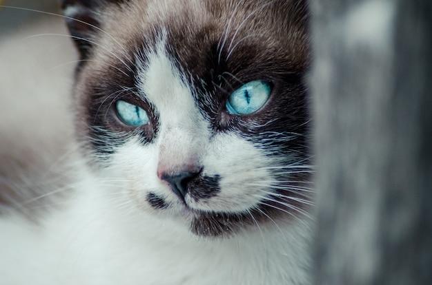 Colpo del primo piano del viso bianco e marrone di un simpatico gatto dagli occhi azzurri