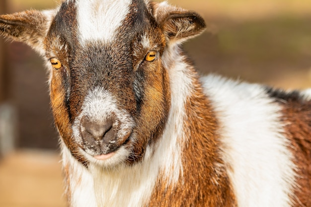 Closeup shot of a brown and white goat