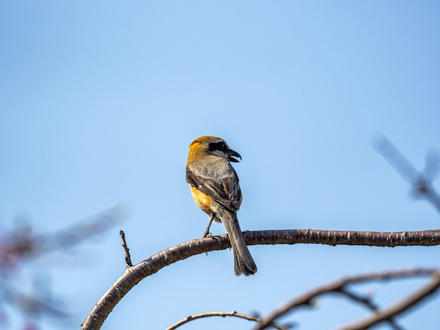 Closeup shot of a bull-headed shrike perched on a branch
