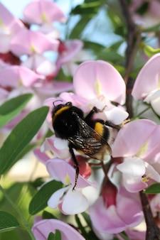 Colpo del primo piano di un calabrone che raccoglie il polline su un fiore di acacia