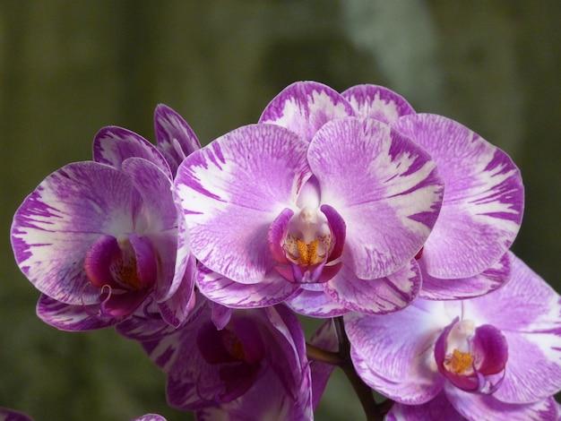 Colpo del primo piano di un mazzo di bellissime orchidee rosa e bianche