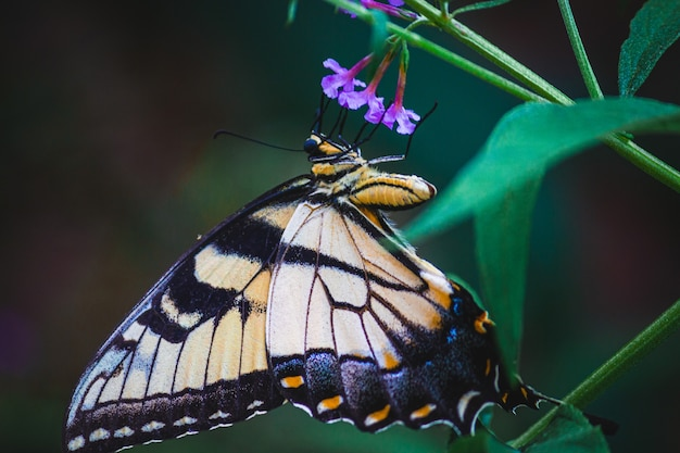 Closeup shot of a butterfly on purple flowers