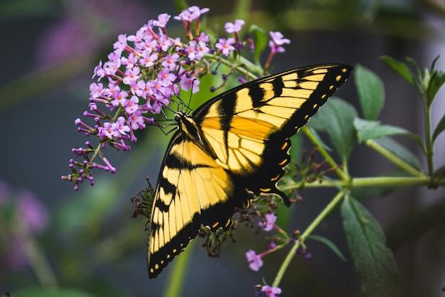 Closeup shot of a butterfly on purple flowers