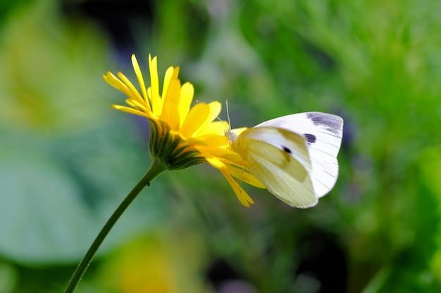 Colpo del primo piano di una farfalla che si siede su un fiore