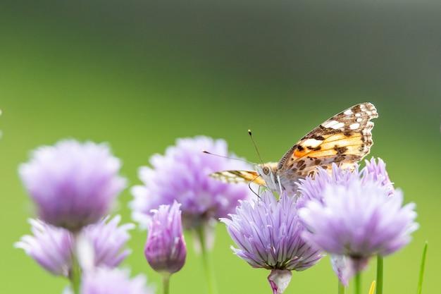 Colpo del primo piano di una farfalla che si siede su un fiore viola