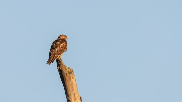 Closeup shot of a buzzard perched on a log on blue sky background