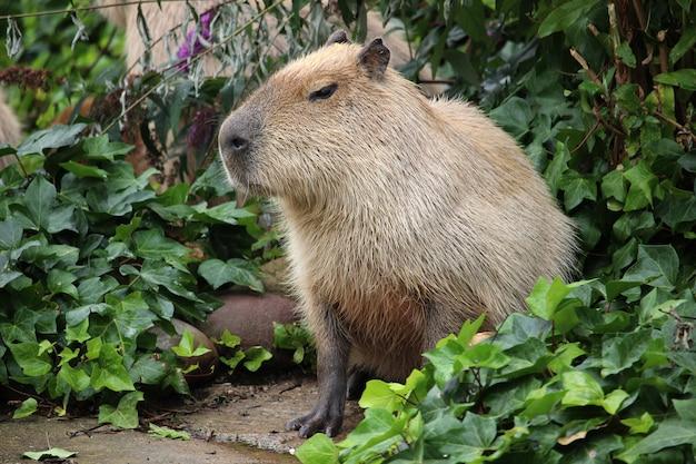 Closeup shot of a capybara in the greenery