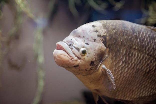 Colpo del primo piano di un pesce della carpa subacqueo