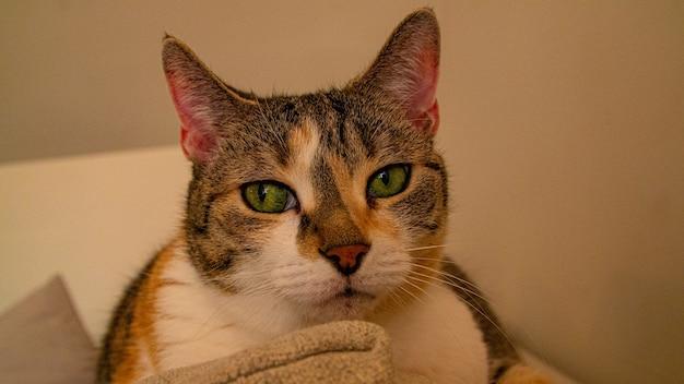Colpo del primo piano di un gatto con gli occhi verdi che riposa su un divano