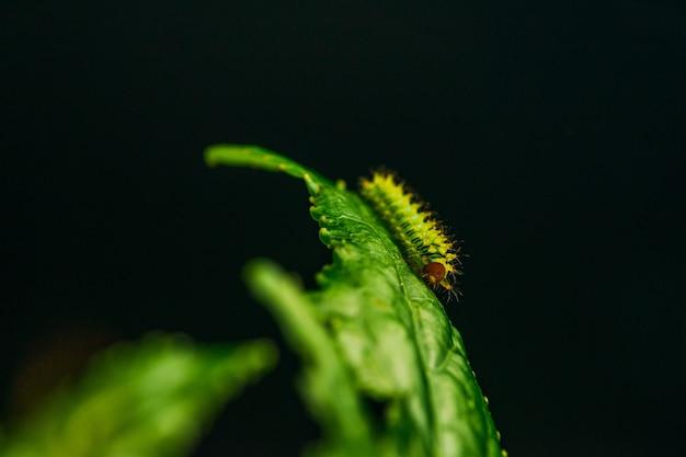 Closeup shot of a caterpillar on a green leaf