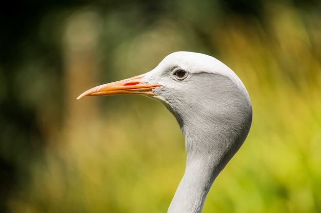 Colpo del primo piano di un uccello airone guardabuoi con uno sfocato