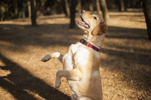 Closeup shot of a cheerful labrador standing on two feet in a field under the sunlight at daytime