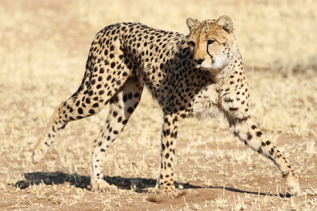 Closeup shot of a cheetah springing into action