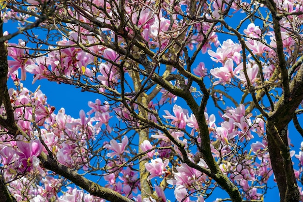 Closeup shot of cherry blossom trees under a clear blue sky
