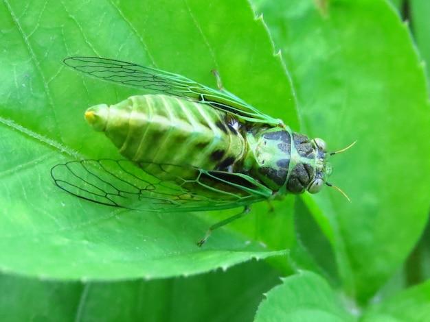 Closeup shot of a cicada on a green leaf