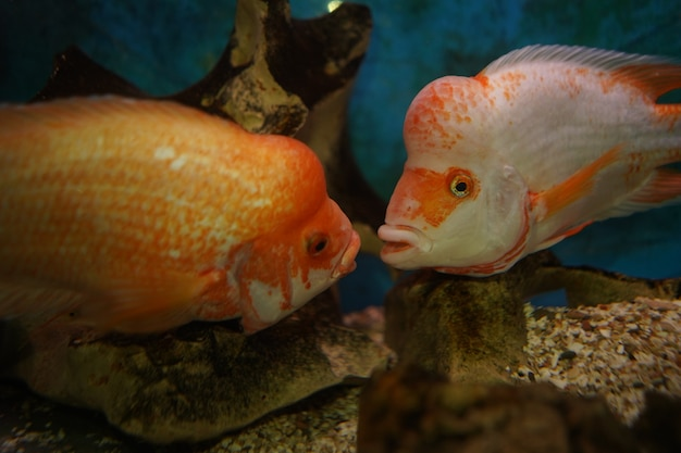 Closeup shot of cichlid fishes swims in the aquarium