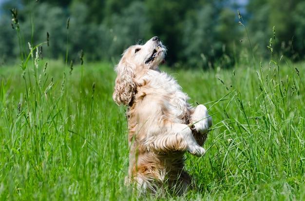Colpo del primo piano di un cane di cocker spaniel che sta sulle due zampe nel campo verde