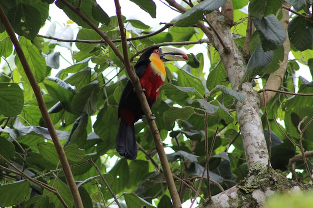 Closeup shot of a colorful cute toucan bird perched on a branch of a tree eating a red berry