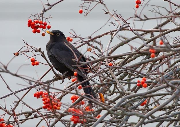 Closeup shot of common blackbird