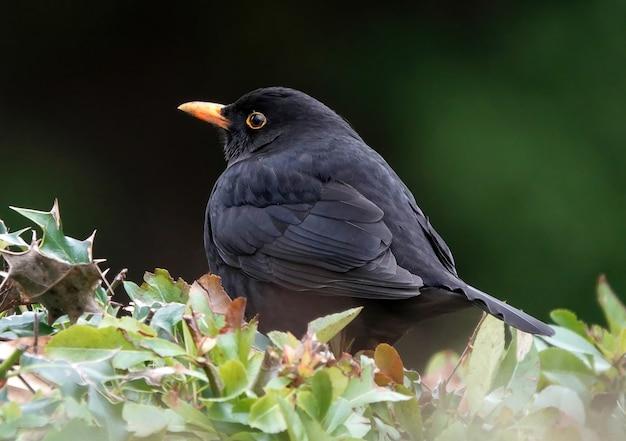 Closeup shot of a common blackbird