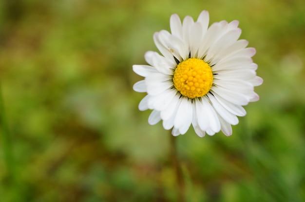 Closeup shot of a common daisy