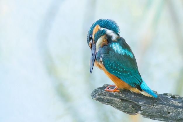 Closeup shot of a common kingfisher bird perched on a branch fixing its plumage