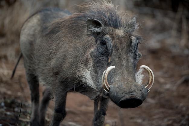 Closeup shot of a common warthog