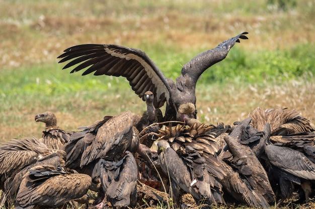 Primo piano di condor riuniti in un mucchio