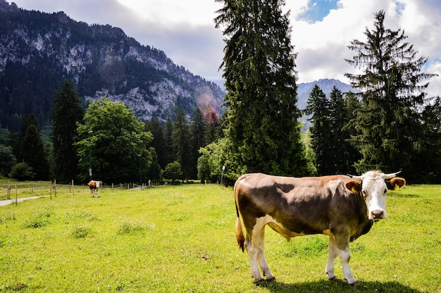 Closeup shot of a cow on a green meadow on a background of mountains