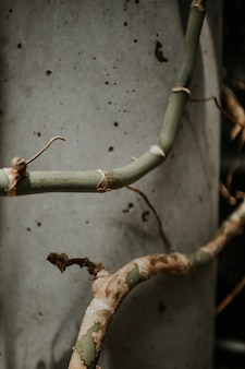 Closeup shot of crooked green bamboo stems near a grey wall