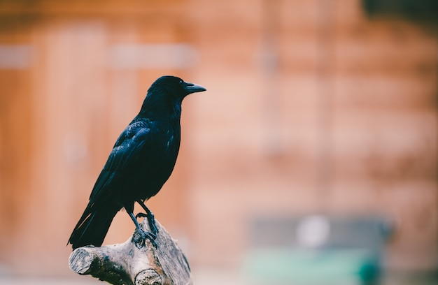 Closeup shot of a crow perched on a tree trunk bench