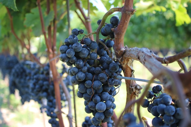 Closeup shot of crunches of black grape growing on the trees