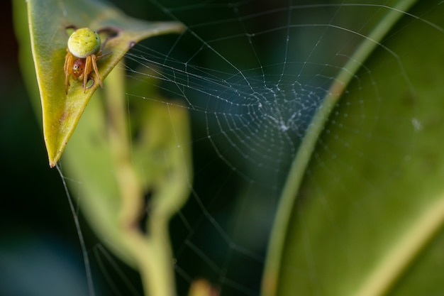 Closeup shot of a cucumber green spider on a cobweb