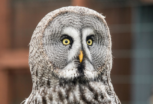 Closeup shot of a curious great grey owl staring directly at the camera