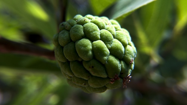 Closeup shot of a custard-apple growing on the tree