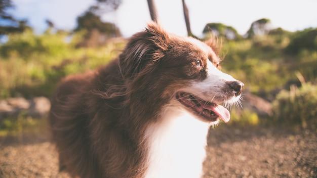 Closeup colpo di un simpatico cucciolo di pastore australiano con uno sfondo luminoso